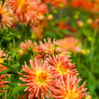 Yellow and orange dahlia flowers — Stock Photo