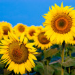 Yellow sunflowers over blue sky — Stock Photo #10371153