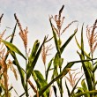 Corn crops — Stock Photo #10371183