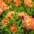 Yellow and orange aster flowers — Stockfoto