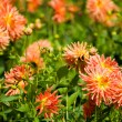 Yellow and orange aster flowers — 图库照片