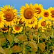 Yellow sunflowers over blue sky — Stock Photo #10371264