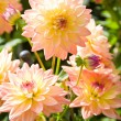 Yellow and orange aster flowers — Stock Photo