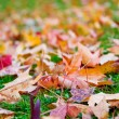 Purple and yellow autumn maple leaves - Stock Photo