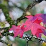 Purple maple leaves — Stock Photo