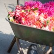 Gardener wheelbarrow with flower heads — Stock Photo