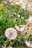 White dandelions on summer meadow — Stock Photo