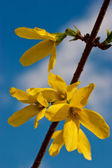 Branch with yellow flowers over blue sky — Photo