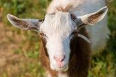 Cabra — Fotografia Stock