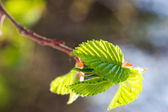 Green leaf on tree branch — Stock Photo