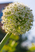 Onion flower — Stock Photo
