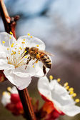 First bee — Foto Stock