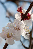 Apricot tree over blue sky — Stock Photo