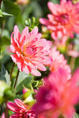Big red dahlia flowers — Foto Stock