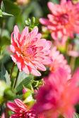 Velké červené dahlia květiny — Stock fotografie