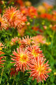 Yellow and orange dahlia flowers — Stockfoto