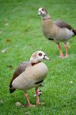Dwa dzikie kaczki — Zdjęcie stockowe