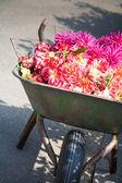 Gardener wheelbarrow with flower heads — Stock Photo