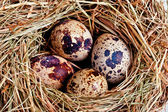 Bird's nest with four eggs — Stock Photo