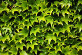 Green leaves texture — Stock Photo