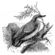 Photo: Nuthatch bird vintage illustration