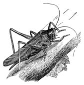 Grasshopper vintage illustration — Stock Photo