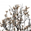 Almond tree flowers spring season — Foto de Stock