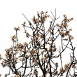 Almond tree flowers spring season — Lizenzfreies Foto