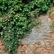 Ivy plant on grungy stone wall — 图库照片