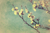Vintage cherry blossom — Stock Photo