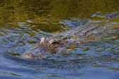 Alligator in Averglades — Stock Photo