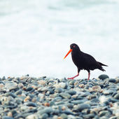 Variable Oystercatcher — Stock Photo