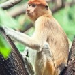 Proboscis monkey - Stockfoto
