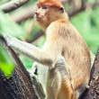 Proboscis monkey - Foto Stock