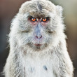 Stock Photo: Macaque portrait