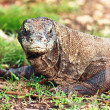 Komodo Dragon — Stock Photo #8419797