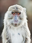 Macaque portrait — Stockfoto