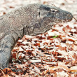 Komodo Dragon — Stock Photo #8503946