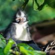 Thomas's leaf monkey — Stock Photo