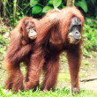 Sumatrian orangutan - Stock Photo