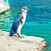 Blue penguin — Stock Photo