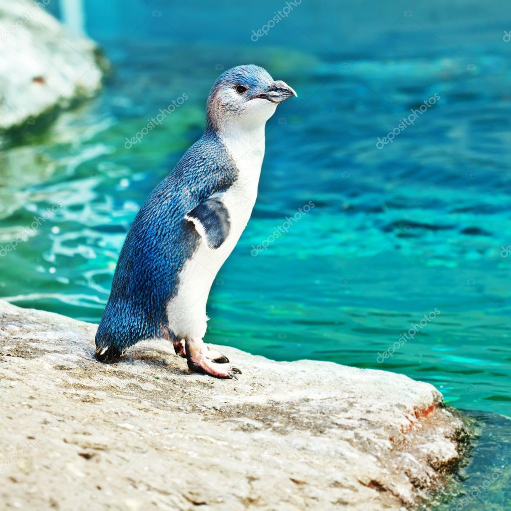 Little blue pinguin on the rock — Stock Photo #9334697