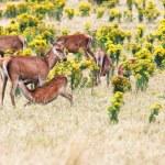 Deers — Stock Photo