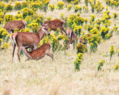 Deers — Stock Photo