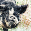 Boar - Stock Photo