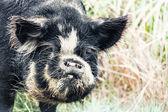 Boar — Foto de Stock
