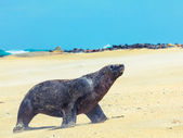 Leão-marinho — Fotografia Stock