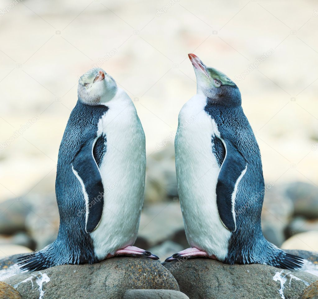 Wildlife photo of a Yellow-eyed Penguins — Stock Photo #9752186
