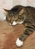 Sleeping cat. — Stock Photo