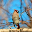 Waxwing. - Stock Photo